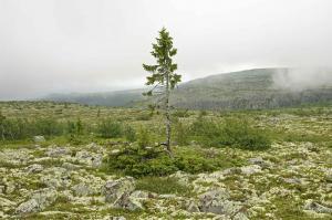 Pohon Tertua dunia 2