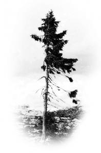 Pohon Tertua dunia 3