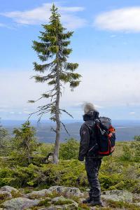 Pohon Tertua dunia 6