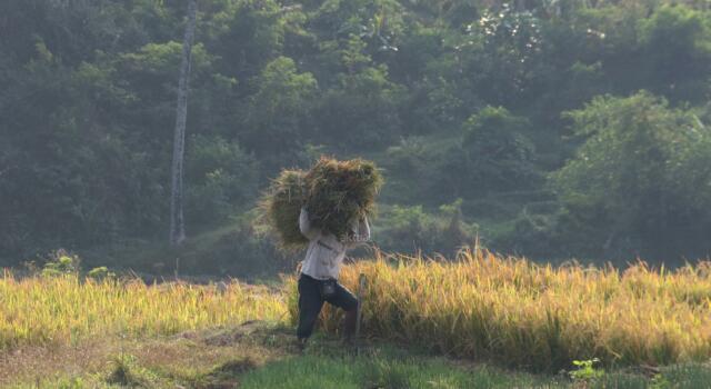 Sebagai upaya mengantisipasi paceklik, Kementerian Pertanian menargetkan panen padi pada musim ketiga yakni mulai Oktober hingga Desember 2017 mencapai 1 juta ha per bulan dengan beras yang dihasilkan mencapai 3 juta ton per bulan. AKTUAL/Munzir