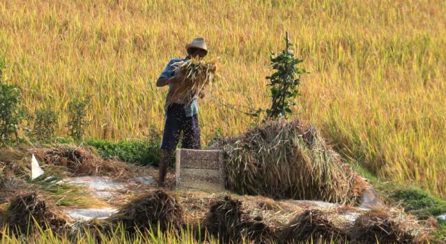 Petani memilah gabah hasil panen di Kabupaten Majalengka, Jawa Barat, Selasa(14/11/2017). Sebagai upaya mengantisipasi paceklik, Kementerian Pertanian menargetkan panen padi pada musim ketiga yakni mulai Oktober hingga Desember 2017 mencapai 1 juta ha per bulan dengan beras yang dihasilkan mencapai 3 juta ton per bulan. AKTUAL/Munzir