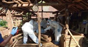 Petugas dari Dinas Pertanian dan Pangan Gunungkidul mengevakuasi ternak yang mati mendadak. Foto: Erfanto