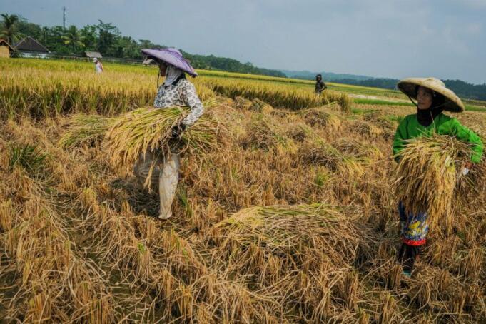 Ilustrasi: Aktivitas Petani Mengambil Gabah/ANTARA