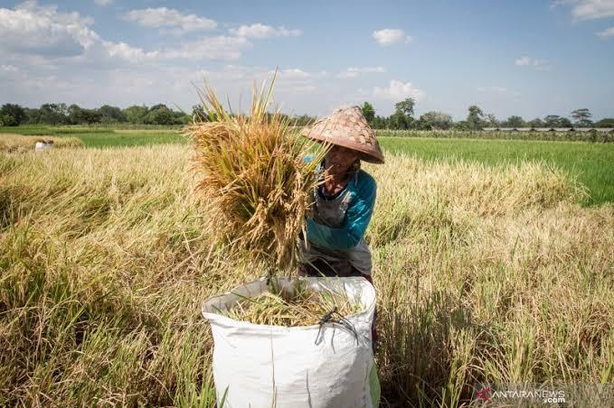 Ilustrasi: Petani panen padi/Antara